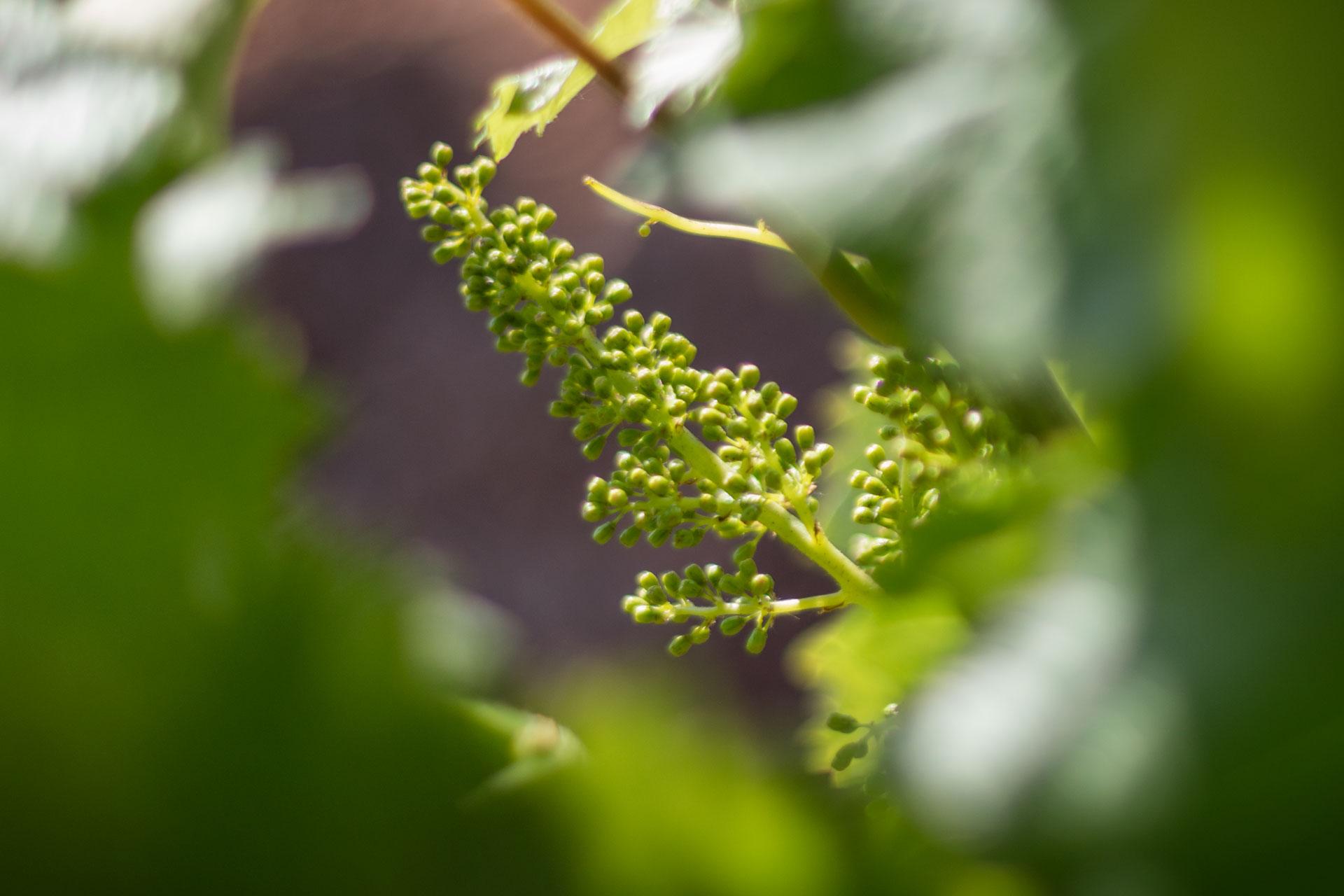 Croissance vegetative