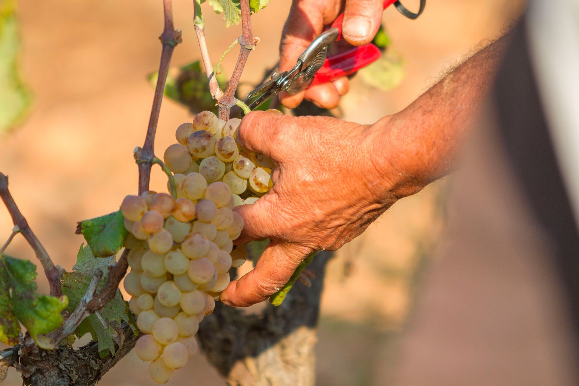 Hand-picked grapes